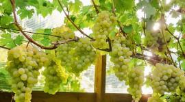 Как создать теплицу для выращивания винограда: полезные советы