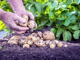 Посадка и выращивание картофеля: правила и советы